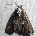 Half-banded Bryolymnia Moth - Bryolymnia semifascia