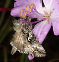 Diurnal moth on Clarkia breweri - Autographa californica