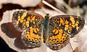 Small Orange Butterfly - Phyciodes tharos