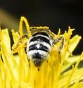Halictus? - Lasioglossum sisymbrii
