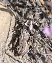 Grasshoppers mating - Dracotettix monstrosus - male - female