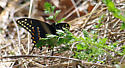 Pipevine swallowtail? - Papilio polyxenes