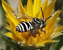 Triepeolus cuckoo bee - Triepeolus - male