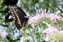 Papilio polyxenes asterius - Papilio polyxenes