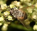 Fly - Stonemyia tranquilla - female