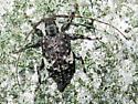 Long-Horned Beetle - Astylopsis macula