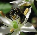 On allium flower - Hylaeus - female