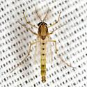 Midge - Goeldichironomus carus - male