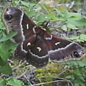 Hyalophora - Hyalophora euryalus - female