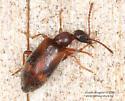 Coleoptera - Anthicus cervinus