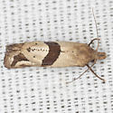 Broad-patch Carolella Moth - Hodges #3764 - Eugnosta sartana