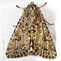 The Nutmeg Moth - Anarta trifolii