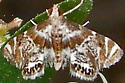 Feather-edged Petrophila - Petrophila fulicalis
