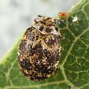 Carpet Beetle - Anthrenus museorum