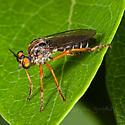 Robberfly for ID - Taracticus octopunctatus