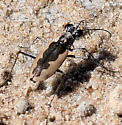 White-cloaked Tiger Beetle - Eunota togata