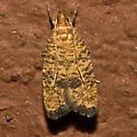 Oak Leaf-tying Psilocorsis Moth - Hodges#955 - Psilocorsis quercicella