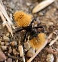 Dasymutilla aureola? - Dasymutilla aureola - female