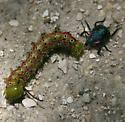 battle between a beetle and a caterpillar - Alcaeorrhynchus grandis