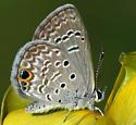 butterfly - Hemiargus ceraunus