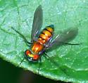 Orange Fly - female