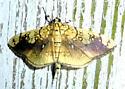5241      Basswood Leafroller Moth     (Pantographa limata)  - Pantographa limata