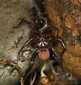 folding door spider - Antrodiaetus pacificus - male