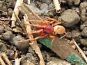 unidentified red spider - Dysdera crocata