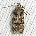 Pseudotelphusa quercinigracella - Hodges#1874 (Pseudotelphusa quercinigracella) - Pseudotelphusa quercinigracella