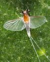 Ephemeroptera? - Caenis - female