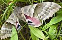 Pachysphinx modesta? - Pachysphinx modesta