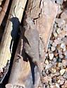 Possibly Species Tetrix subulata - Awl-shaped Pygmy Grasshopper? - Tetrix subulata