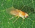 Vinegar Fly on Scrub Oak