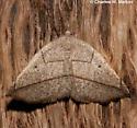 Eusarca geniculata 6939? - Eusarca geniculata