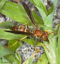 South Florida Polistes - Polistes dorsalis
