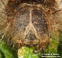 larva - Gloveria arizonensis