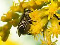 Very small leafcutter - megachile rotundata? - Megachile