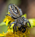 Phidippus clarus - P. insignarius? or Maybe it is in the genus Eris sp.? Even a genus would be welcomed. - Phidippus insignarius - female