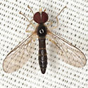 Big-headed Fly - Nephrocerus - male