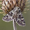 Moth - Lacinipolia