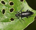 Long-horned Beetle - Anoplodera pubera