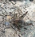 cute brown bug - Diestrammena asynamora