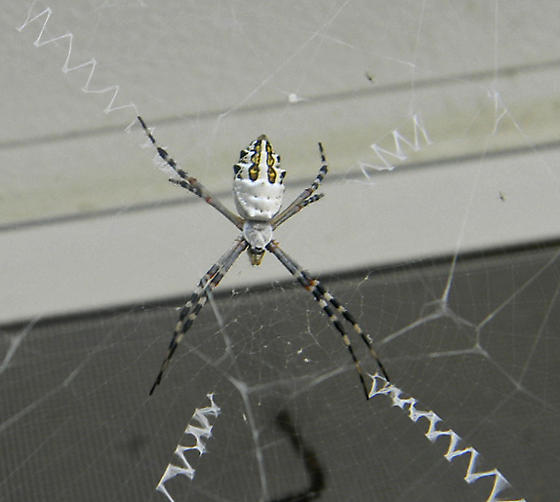 think this is a garden spider argiope florida bugguide net