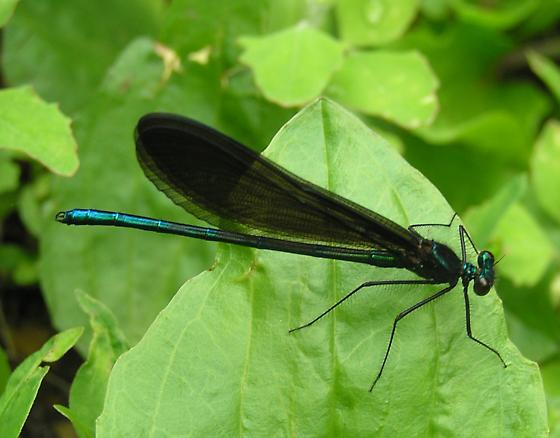 dragon or damsel? - Calopteryx maculata - male