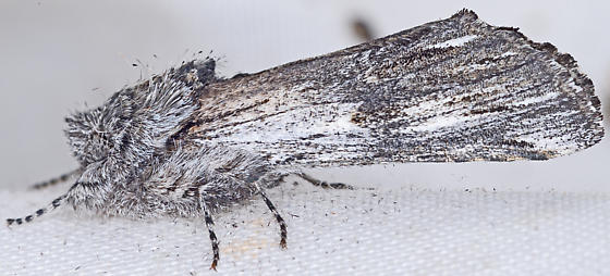 Moth, lateral