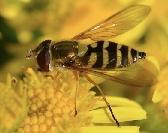 Hover fly - Syrphus ribesii