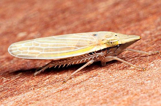 Draeculacephala septemguttata