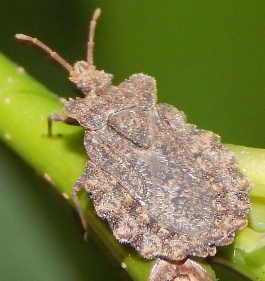 Baltimore Shield Bug? - Aradus crenatus