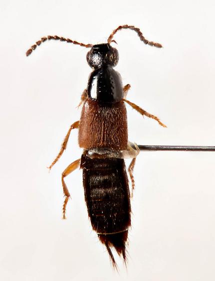 Nice Rove beetle...