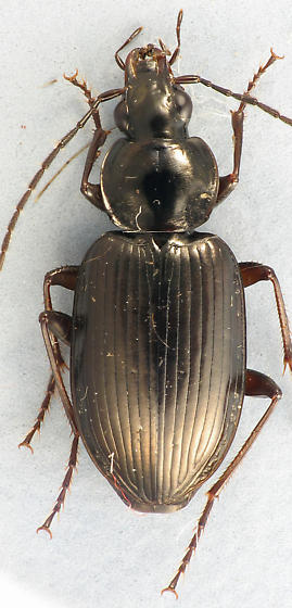 Carabid - Agonum melanarium